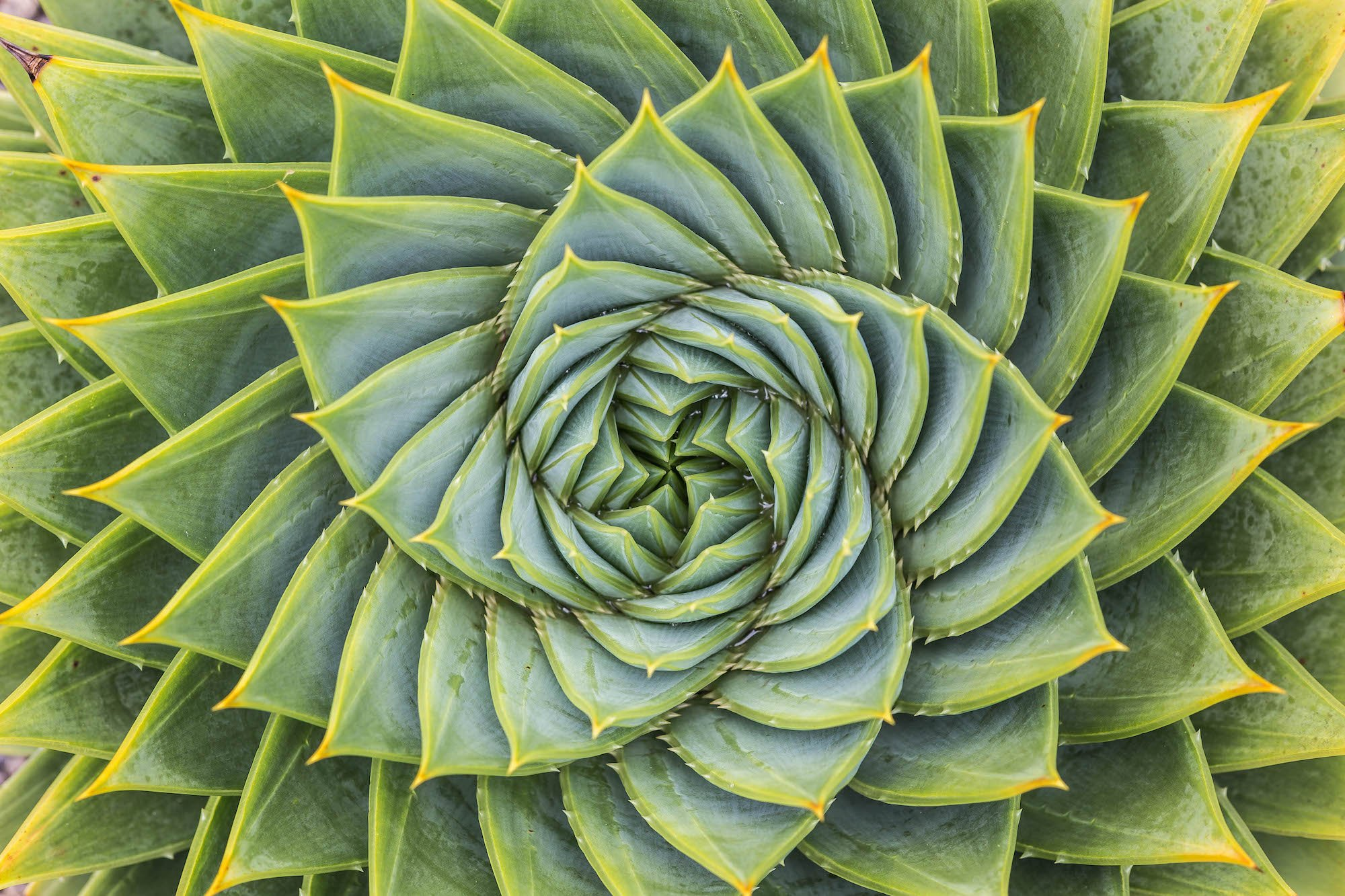 Fractal Aloe Leaves