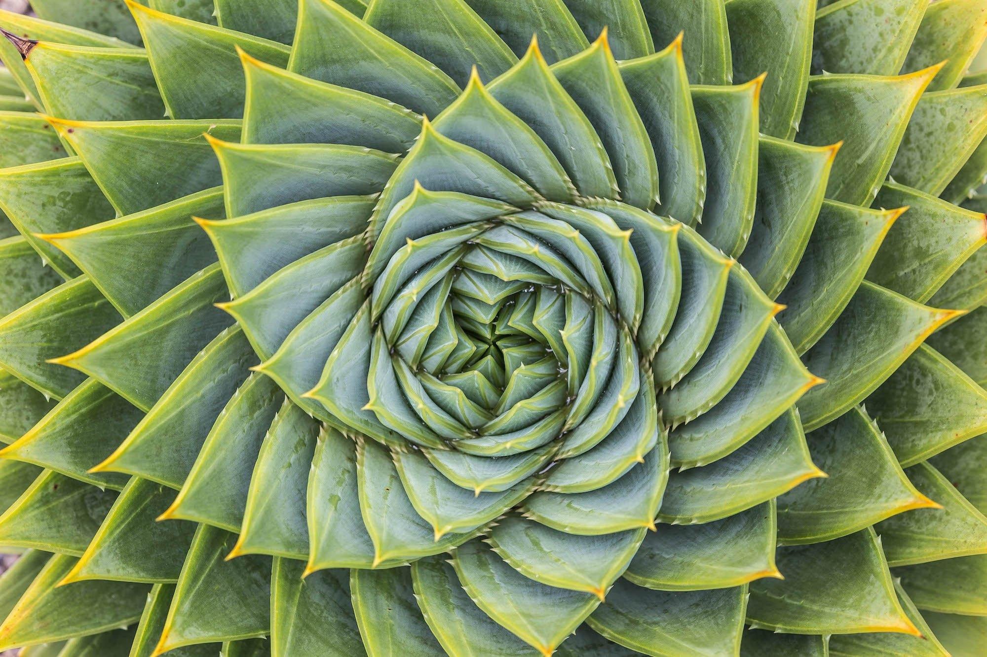 Fractal Aloe Leaves