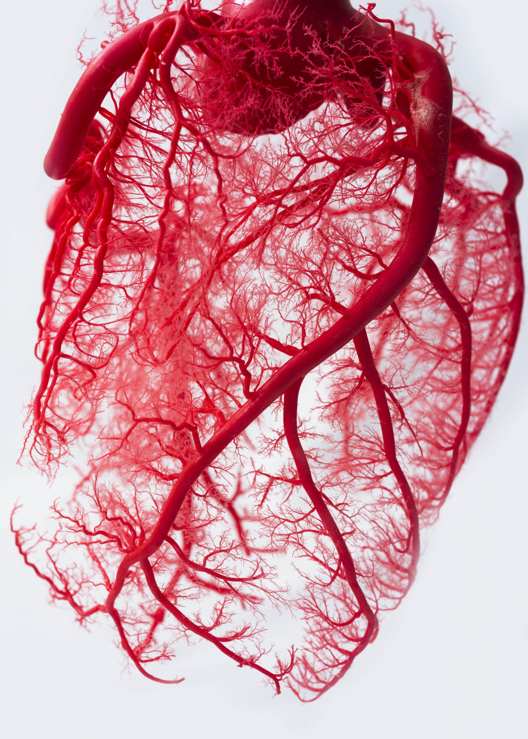 Fractal Human Heart Vascular System